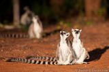 Lemurs Looking