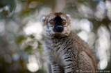 Red-fronted Brown Lemur