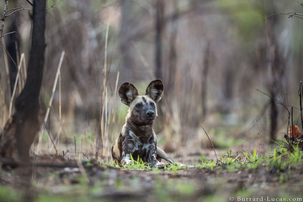 African Wild Dog photographed in Niassa.
