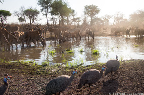 Guieafowl and Eland at a Waterhole