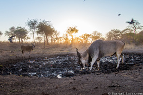 Eland at Sunrise