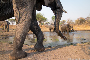 Elephants in the Waterhole