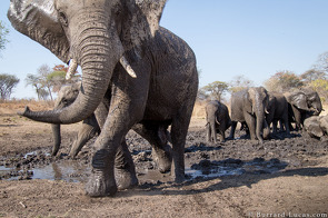 Elephants Mudbathing