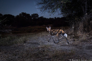 Wild Dog at Night