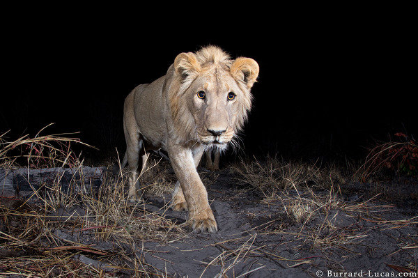 A young male lion caught on camera trap.