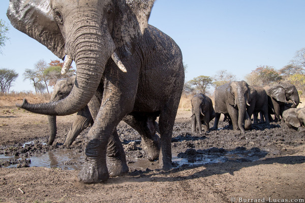 Elephants Mudbath