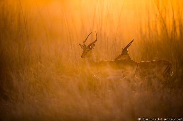 Impala at Sunset, Zambezi Region of Namibia, August 2015