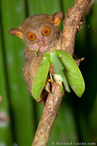 A tarsier eating a big, juicy katydid.