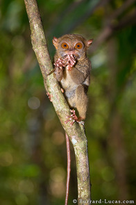 A tarsier biting the head off an unfortunate insect.