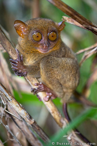 Tarsiers have the largest eye-to-body size ratio of any mammal!