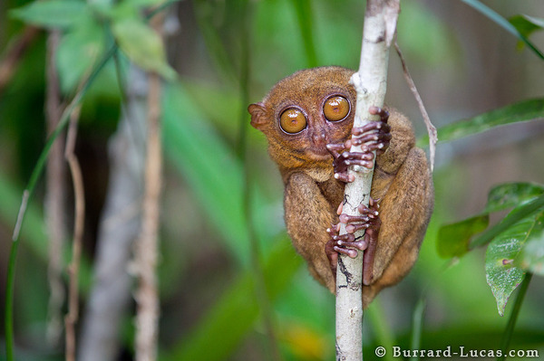 Philippine tarsiers are threatened by the illegal pet trade and habitat loss.