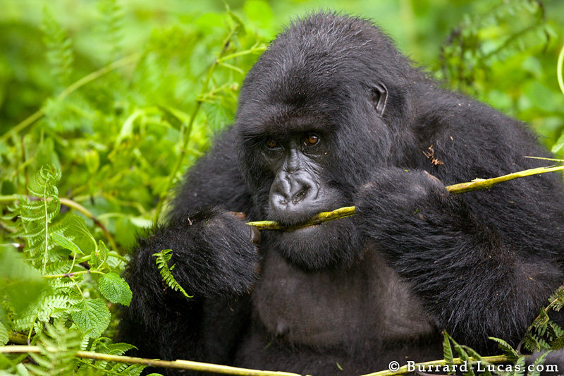 Gorillas Eating Adult gorilla eating a fern