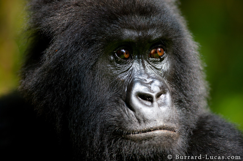 Gorilla face - photo#5