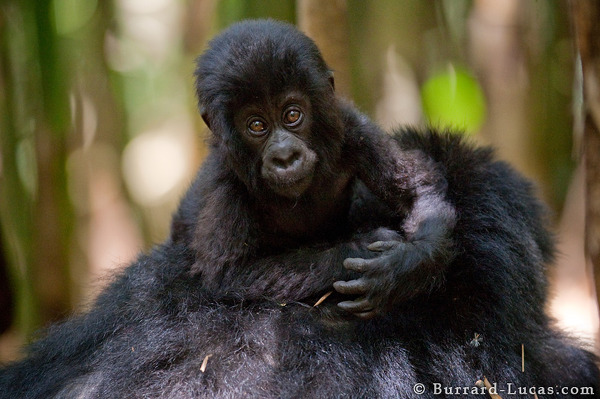 A very young gorilla baby looks at us inquisitively.