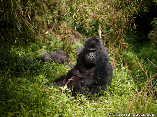 Gorilla in Clearing
