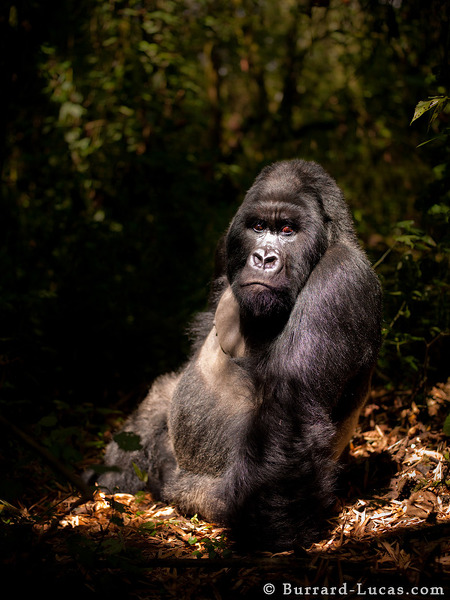 It was an amazing moment when this silverback sat in a forest clearing, illuminated by a shaft of sunlight filtering through the canopy.