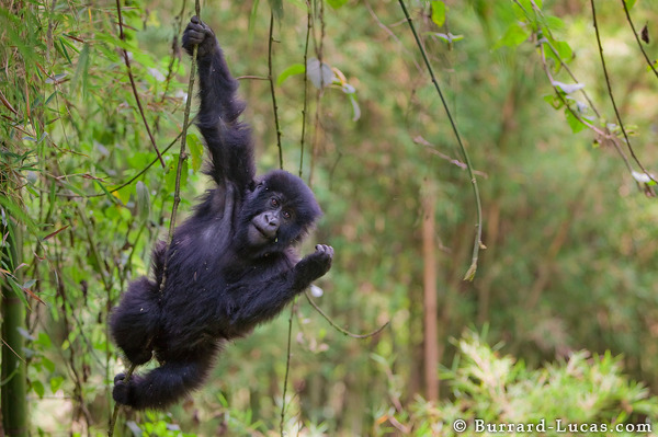 A young gorilla swinging from a vine.