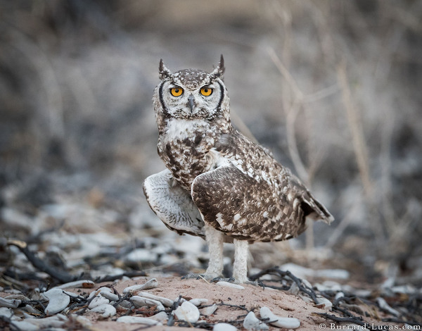 Spotted Eagle-owl