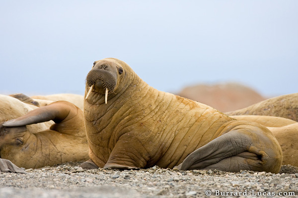 Walrus on Beach
