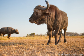 Buffalos were totally unconcerned by BeetleCam and posed very cooperatively!