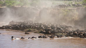Wildebeest starting their crossing of the Mara River.