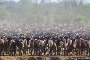A herd of wildebeest dithering on the banks of the Mara River.