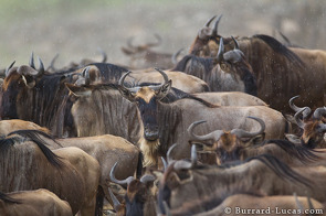 Wildebeest in the rain, waiting to cross the Mara River.