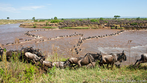 Wildebeest emerging from the river.