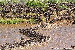 Ten thousand wildebeest crossed the Mara River in just half an hour.