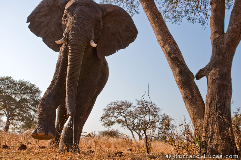 Are Elephants Mammals >> Charging Elephant - Burrard-Lucas Photography