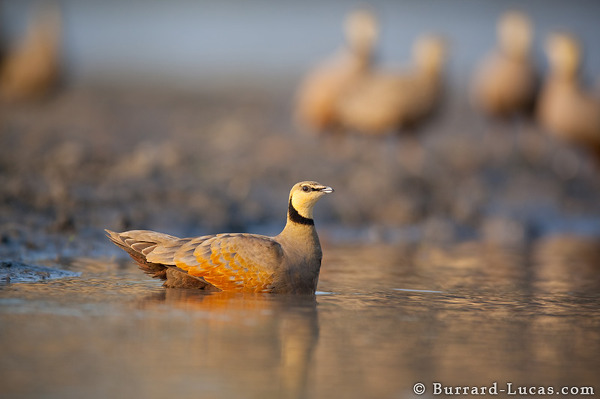 Bathing Sandgrouse
