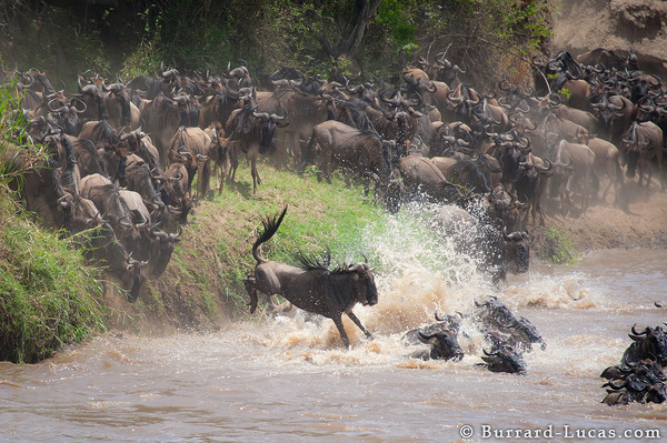 A wildebeest jumps into the Mara River.