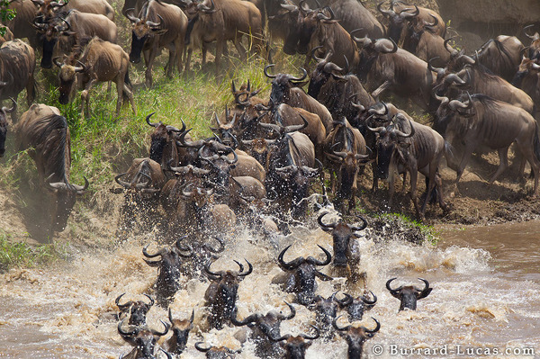 Blue Wildebeest Swimming