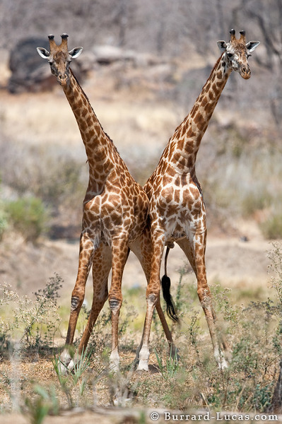 Fighting Giraffes