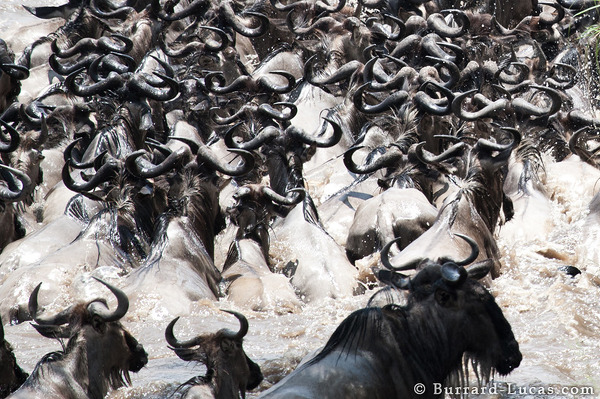 Wildebeest Abstract