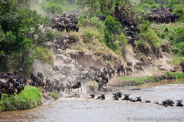 Wildebeest pour down the banks before leaping into the Mara River.
