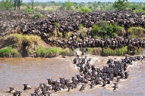 Wildebeest Crossing Serengeti