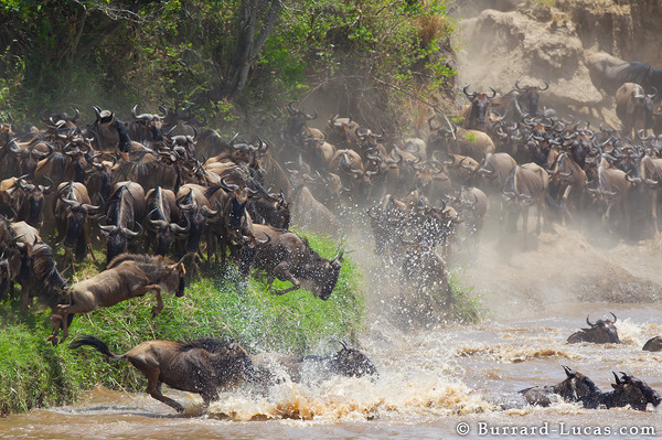 Wildebeest Splash