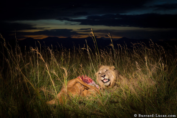 Lion With His Kill