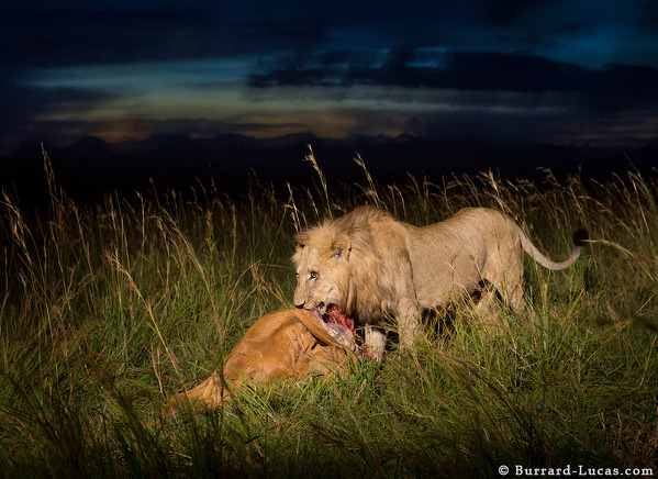 Male Lion Kill