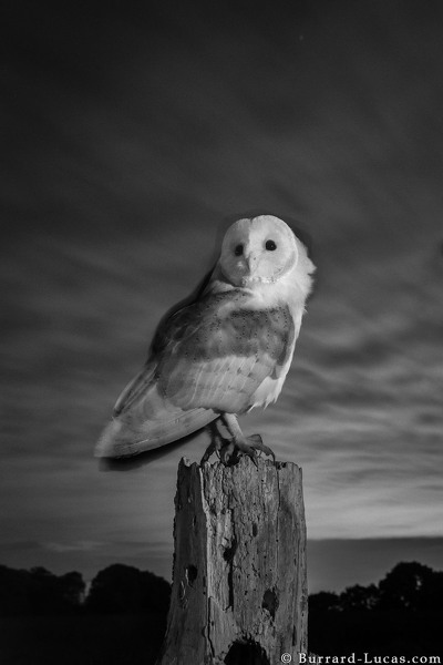 Barn owl on a windy night.