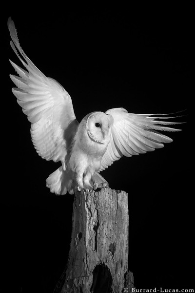 Barn owl landing on a stump at night.