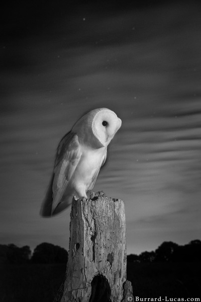 Barn owl at night photographed with a Camtraptions Motion Sensor.