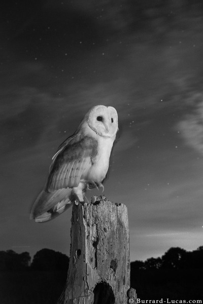 Barn owl photographed with an infrared camera at night.
