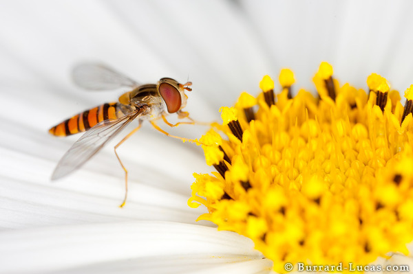 Hoverfly Eating Pollen