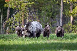 Bear family, Grand Teton National Park, USA