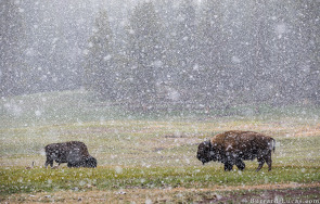 Bison in Snow, Yellowstone National Park, USA