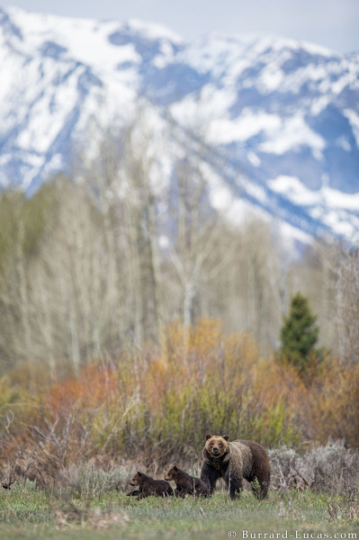 Bear in front of Tetons