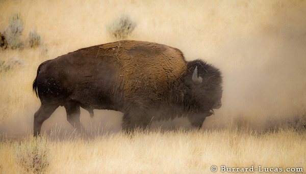 Bison in Dust