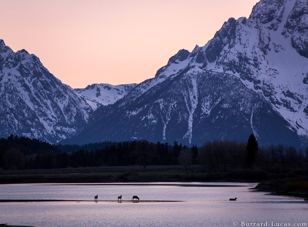 Elk in front of Grand Tetons, USA, May 2015